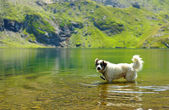 White dog refreshing in very clean water — Stock Photo