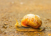Outdoor close-up of brown snail moving on the ground — Stock Photo