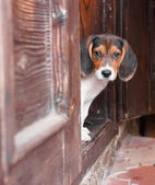 Portrait of a cute Beagle puppy sitting on doorstep — Stock Photo
