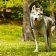 Attentive Siberian Husky on grass looking to camera — Stock Photo