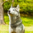 Attentive SIberian Husky in sitting position — Stockfoto