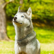 Attentive SIberian Husky in sitting position — Stock Photo