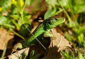 European green lizard in green grass. — Stock Photo