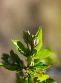 Closeup of branch with green spring leaves budding — Stock Photo