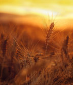 Wheat field with wonderful sunset in background — Stock Photo