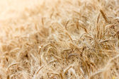 Wheat field with focus in foreground — Stock Photo