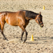 Purebred brown horse walking in sand — Stock Photo