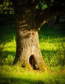 Oak tree with big hole in green grass — Stock Photo