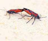 Macro photo of two fire bugs while mating — Stock fotografie