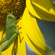 Stock Photo: Green grasshopper isolated on sunflower