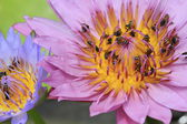 Bees absorb the pollen of Lotus — Stock Photo