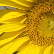 Most of a Sunflower Closeup — Stock Photo