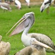 Stock Photo: Close-up of pelican