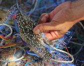 καβουριών που αλιεύονται από τον ψαρά. — Φωτογραφία Αρχείου