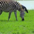 Royalty-Free Stock Photo: Zebra standing