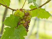 Groene en rode druiven groeien in een wijngaard — Stockfoto