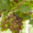 Stock Photo: Green and red grapes growing in vineyard