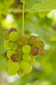 Green grapes growing in a vineyard — Stock Photo