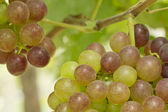 The branch of grapes — Stock Photo