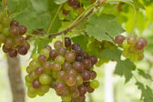 Green and red grapes growing in a vineyard — Stock Photo