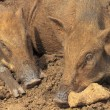 Group of wild boars in earthy ambiance — Stock Photo