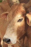 Close up face cow — Stockfoto
