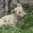 White young lion - Stock Photo