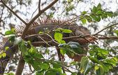 Gran iguana — Foto de Stock