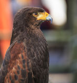 Harris Hawk (Parabuteo unicinctus) — Stock Photo