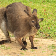 Wallaby — Stock Photo #22232523