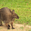 Wallaby — Stock fotografie