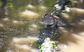 Closeup of Mudskipper — Foto Stock