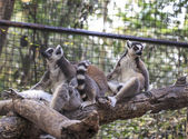 Ring-tailed lemur (Lemur catta) in the zoo — Stock Photo