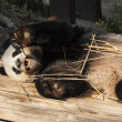 Panda enjoys eating bamboo — 图库照片