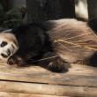 Panda enjoys eating bamboo - Stockfoto