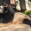 Panda enjoys eating bamboo - Photo
