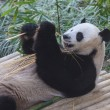 Panda enjoys eating bamboo — Foto Stock