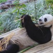 Panda enjoys eating bamboo — ストック写真