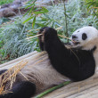 Panda enjoys eating bamboo — Stockfoto