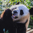 Panda enjoys eating bamboo - Stock fotografie