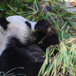 Panda enjoys eating bamboo - Stock Photo