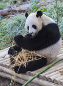 Panda enjoys eating bamboo — Stock Photo