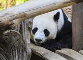 Panda bear playing. After eat — Stock Photo