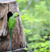 Beautiful green eclectus parrot bird — Stock Photo