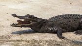 Crocodile eat meat — Stock Photo