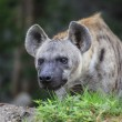 Spotted Hyena — Foto Stock
