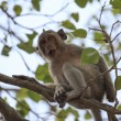Long-tailed macaque - Stock Photo