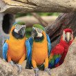 Macaw bird sitting on the timber — Foto Stock