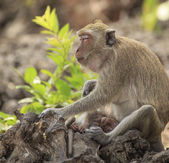 Long-tailed macaque — Stock Photo