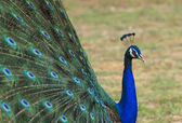 Beautiful peacock and his feathers — Stock Photo
